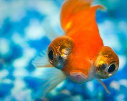 Škola za zlatne ribice