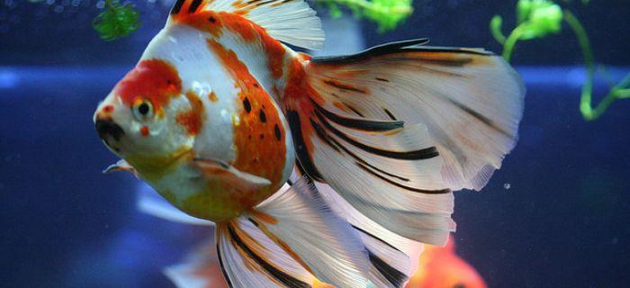 Škola za zlatne ribice (2)